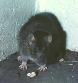 photo of brown rat in a corner