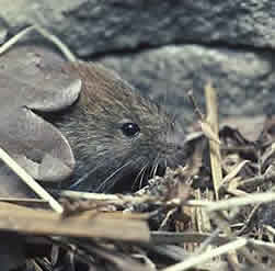 Bank vole: Photo - Mick Hoult